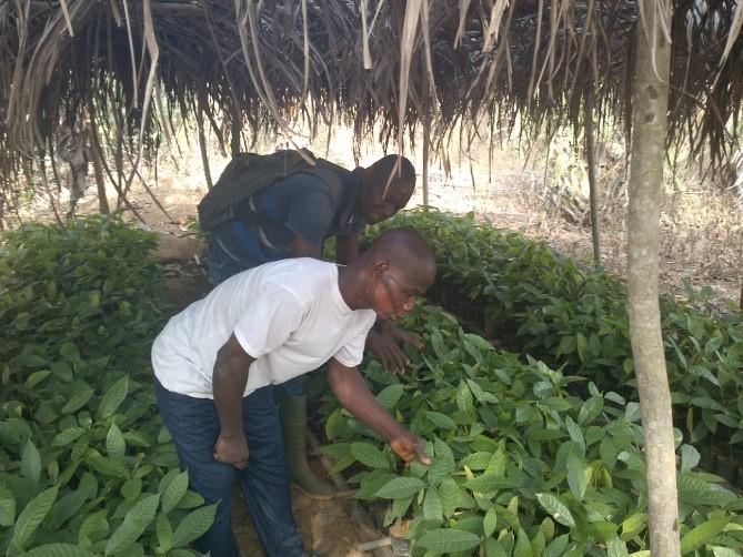 Projet de régénération des vergers en partenariat avec Responsability, Alterfin et Rainforest Alliance,
