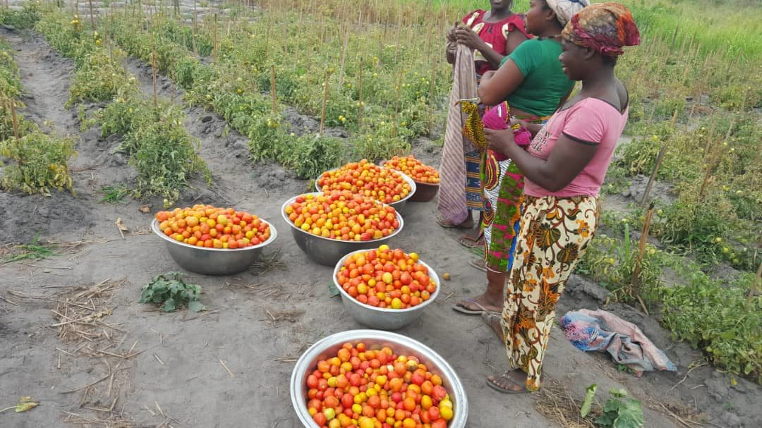 Récolte de tomates dans une plantation communautaire des femmes d'Amanikro- Coopérative Le Rocher